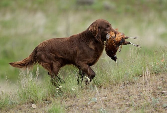 охотник - прямошерстный ретривер
