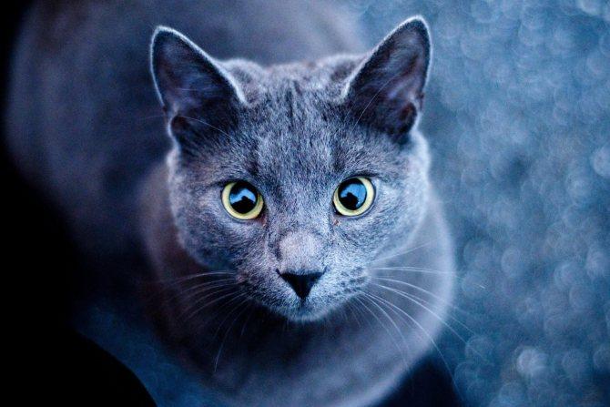 Окрас русской голубой кошки.