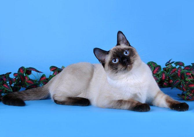 Окрас тайской кошки.
