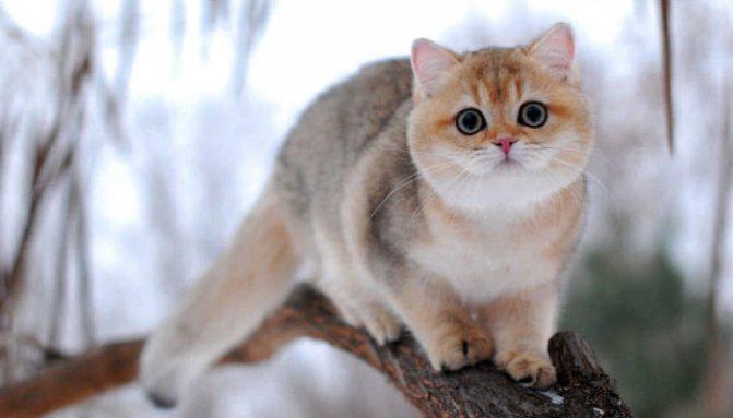 Окрас золотая шиншилла у британских кошек