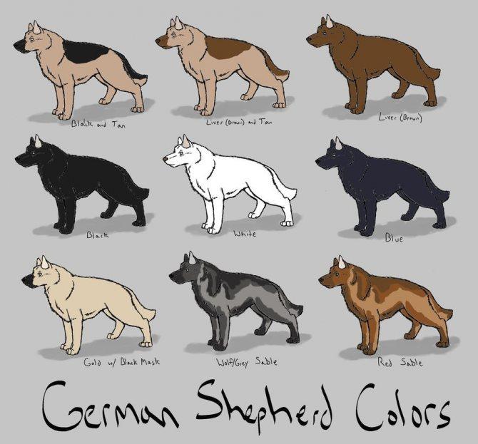 окрасы немецких овчарок