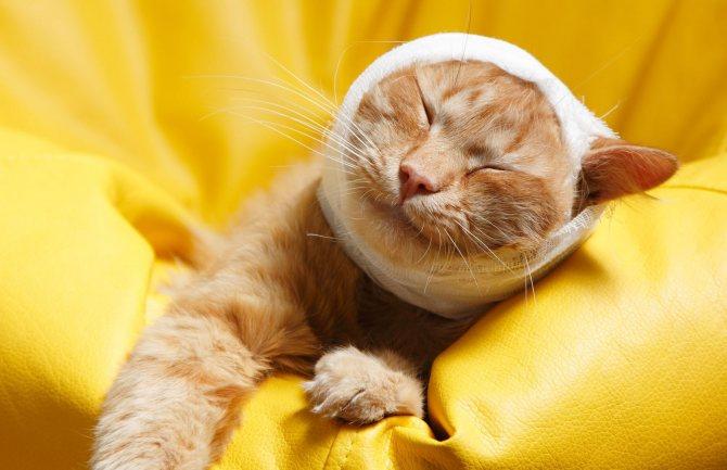Онкологическое уплотнение у кошки, жировики и шишки у кошек и собак. Грыжи. Как отличить от опухоли?