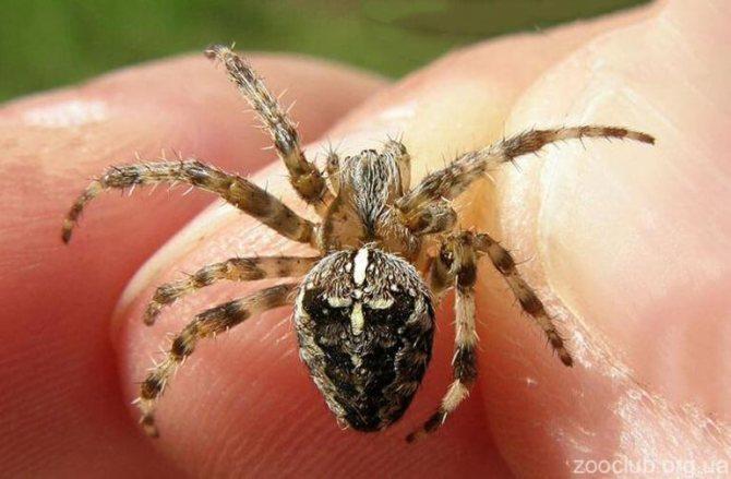 Опасен ли паук крестовик