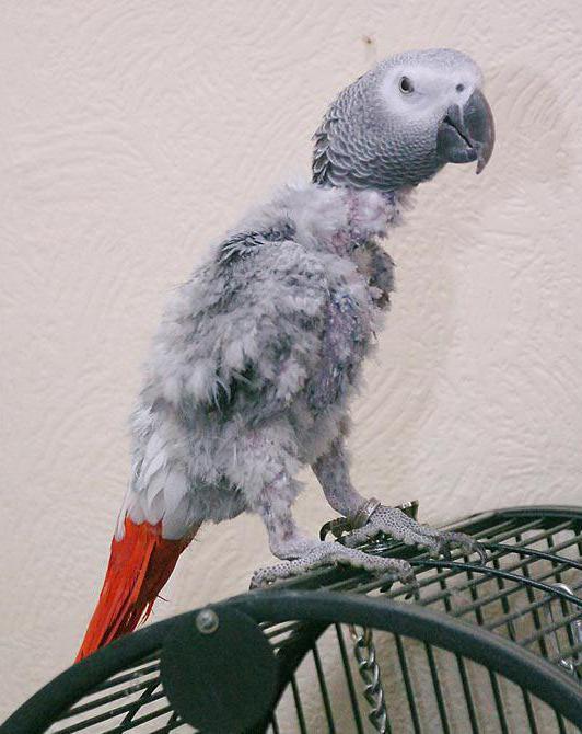 Опасность и методы борьбы с клещами у попугаев