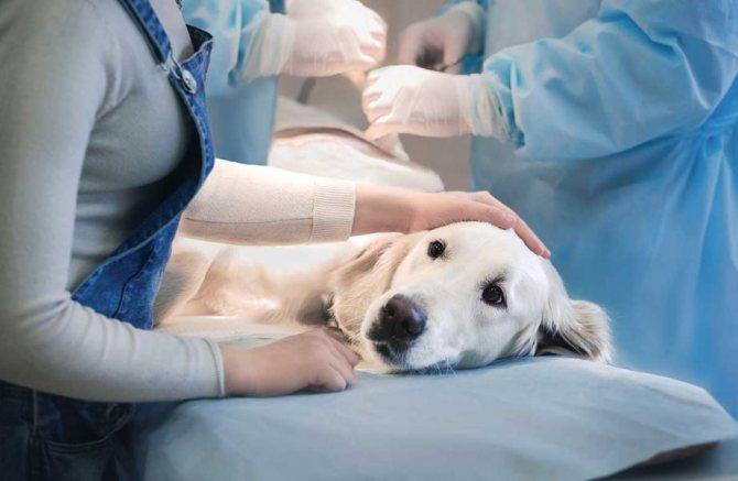 Опасность внутренней кровопотери у собаки