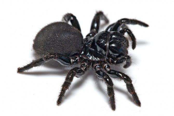 Опасные пауки