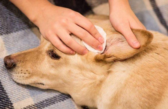 Опасные симптомы при повышении температуры у собаки