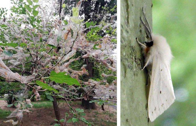 Опасные вредители грецкого ореха
