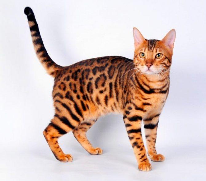 Описание породы бенгальских кошек