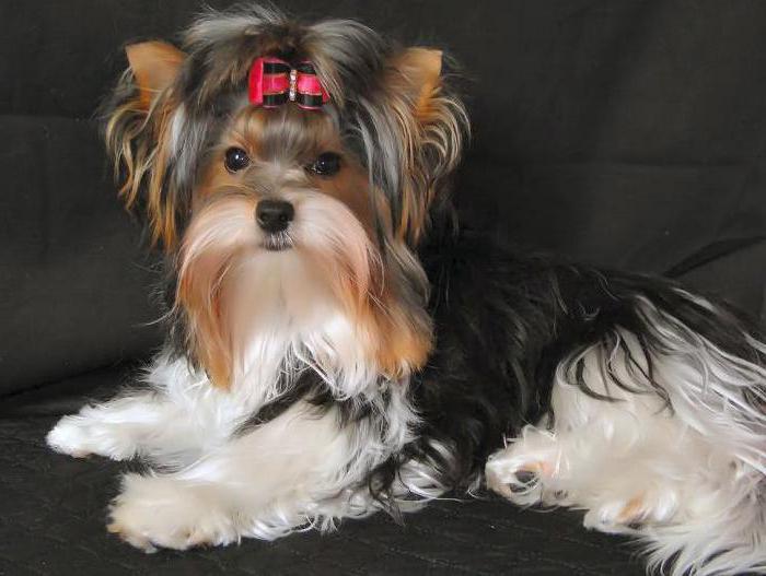 описание породы собак бивер йорк