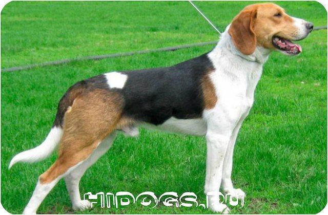 Описание породы собак - Эстонские гончих, особенности охоты с псом, уход, характер и питание.