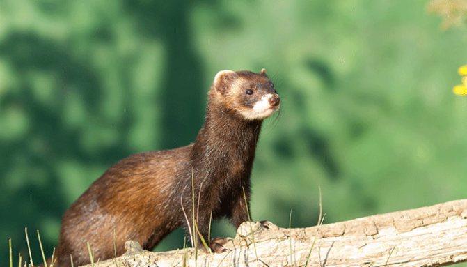 Описание внешнего вида и образа жизни лесного хорька