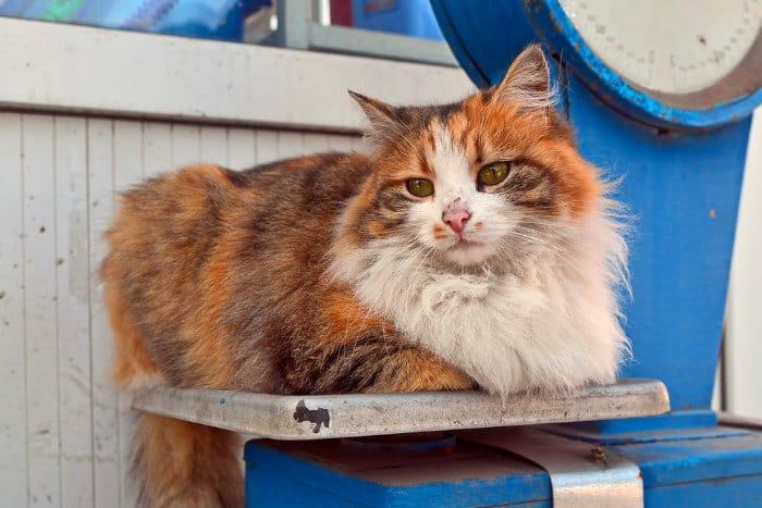 Определение нормального веса кошки