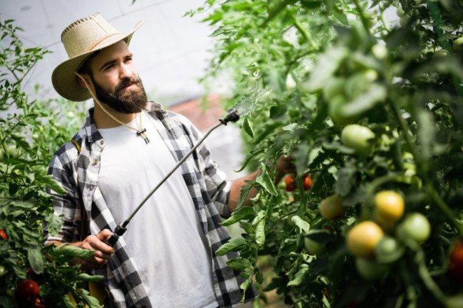 Опрыскивает томаты