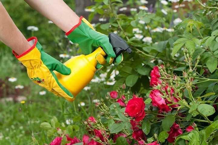 Опрыскивание розы