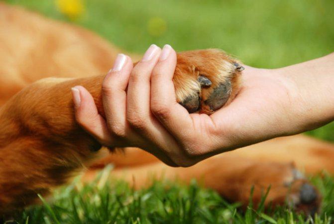 Опухла лапа у собаки: возможные причины и первая помощь.