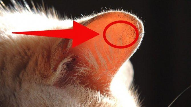 Опухоль ушной раковины у кошек лечение. Заболевания ушей у кошек: виды болезней, симптомы, причины и лечение. Заболевания ушных каналов кошки
