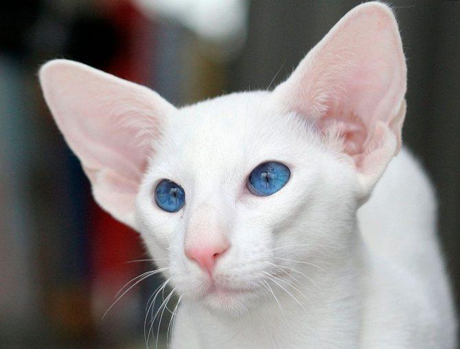 Ориентал альбинос