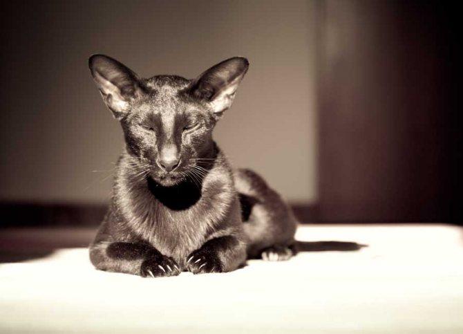 Ориентальные кошки гавана