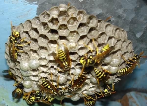 Оса-насекомое-Описание-особенности-образ-жизни-и-среда-обитания-осы-13