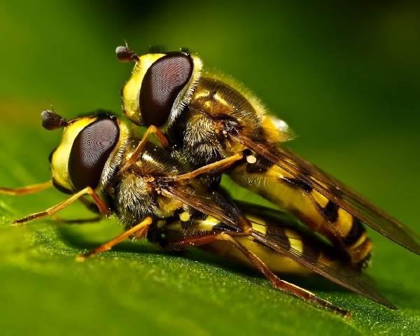 Оса-насекомое-Описание-особенности-образ-жизни-и-среда-обитания-осы-14