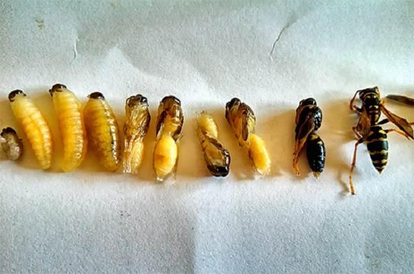 Оса-насекомое-Описание-особенности-образ-жизни-и-среда-обитания-осы-15