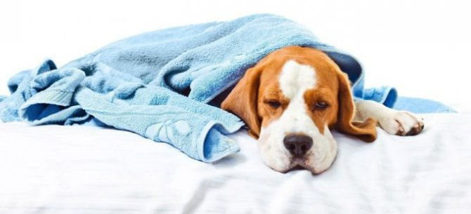 ослабла иммунная система у собаки