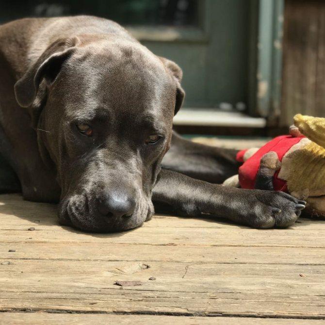 Осложнения после ложной беременности у собак