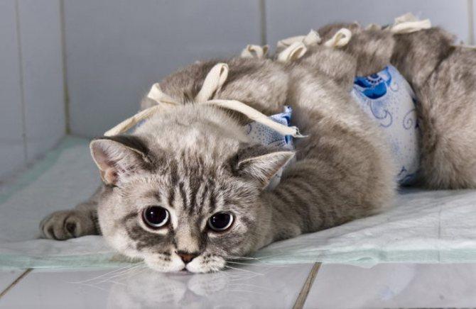 Осложнения у котов после кастрации виды симптомы лечение