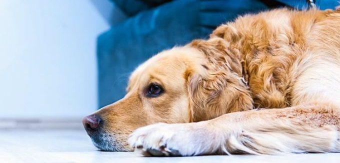 осложнения у собаки при приеме римадила