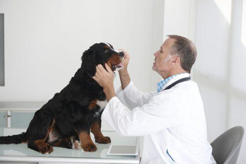Осмотр собаки у ветеринара на наличие грибка