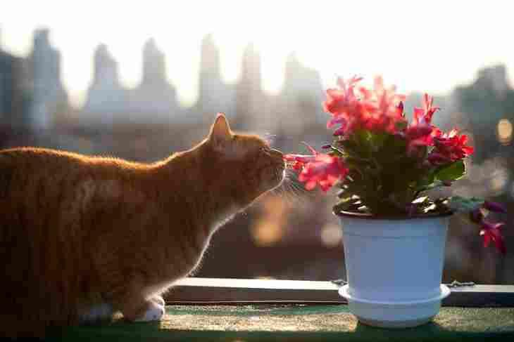 Основные причины, почему кот ест комнатные цветы