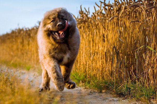 Особенности кормления щенка кавказской овчарки