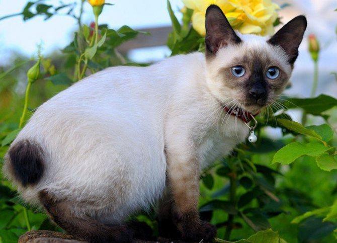 Особенности кошек породы тайский бобтейл
