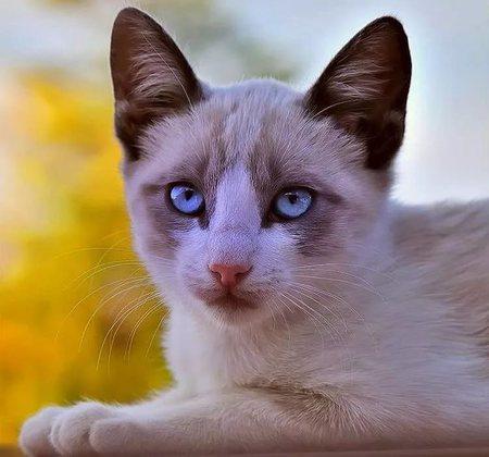 Особенности породы кошек охос азулес