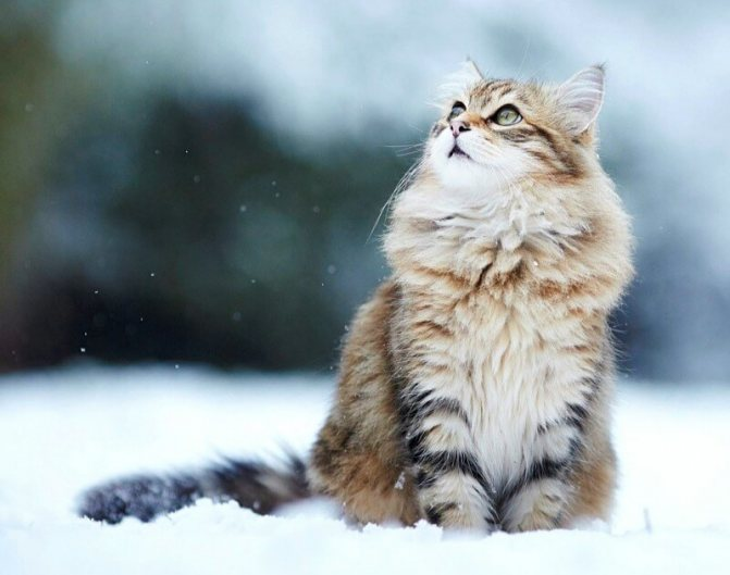 особенности сибирских кошек