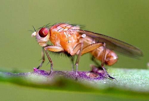 Особенности строения и жизни мухи дрозофилы