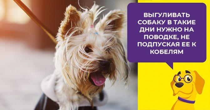 Особенности течки у йорков и рекомендации по уходу за собакой в этот период