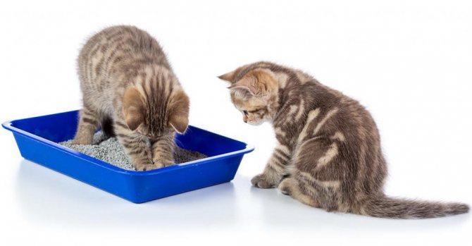 особенности ухода за британскими котятами
