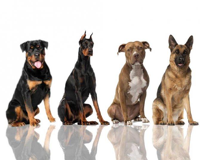 особенности вакцинирования собак в зависимости от породы