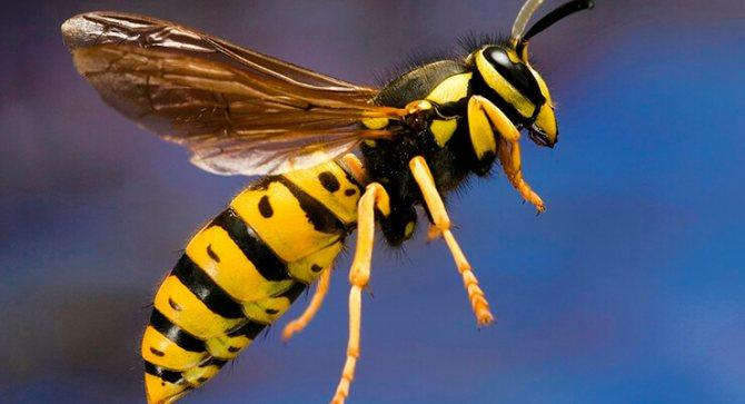 Остается ли жало после укуса осы — Nasekomie