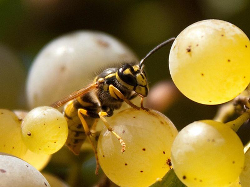 Осы на винограде: как бороться, что делать