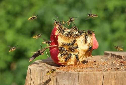 Осы вокруг яблока
