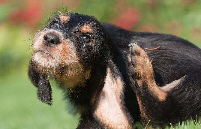 от чего собака заболевает пиодермией