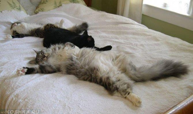 Отдых на спине характерен всем котам