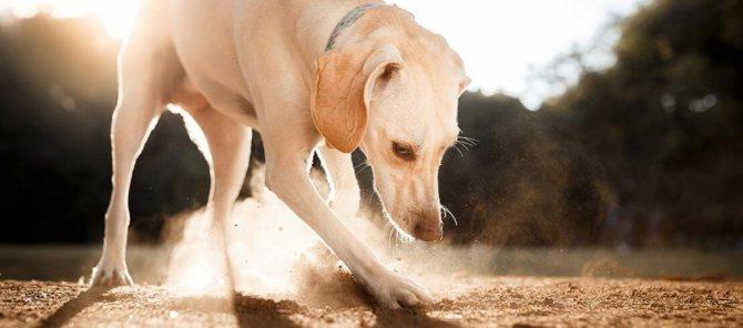 Откуда у собаки глисты