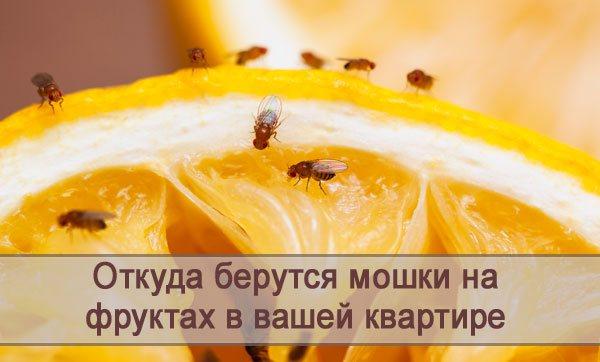 Откуда в вашей квартире на фруктах берутся мошки