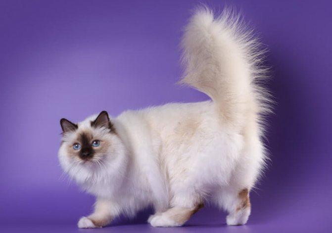 Отличительные черты бирманских кошек