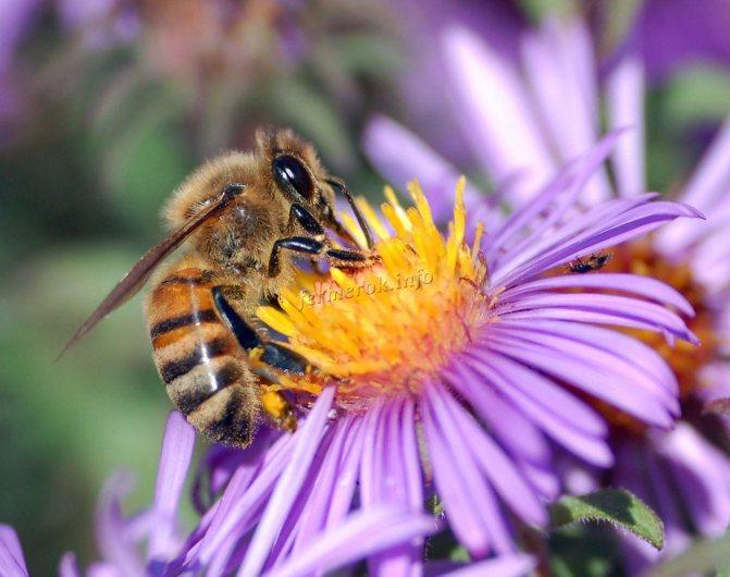 Отличия домашних и диких пчёл