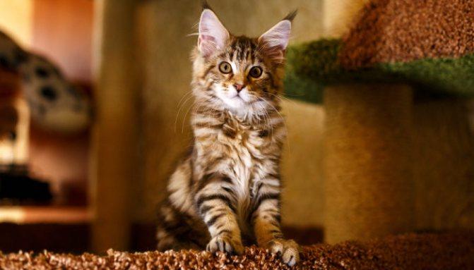 Отличия обычных кошек от мейн-кунов